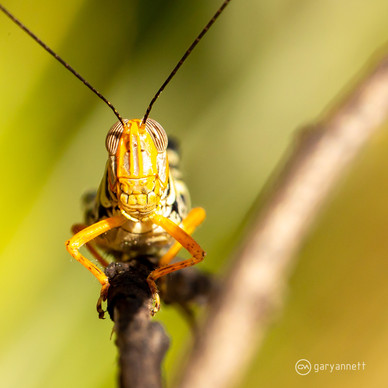 Grasshopper-Kimberley-02.jpg