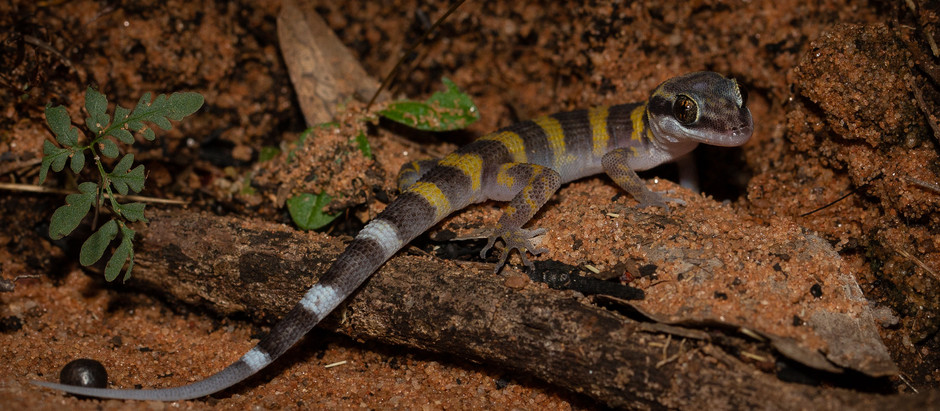 North-west Prickly Gecko...
