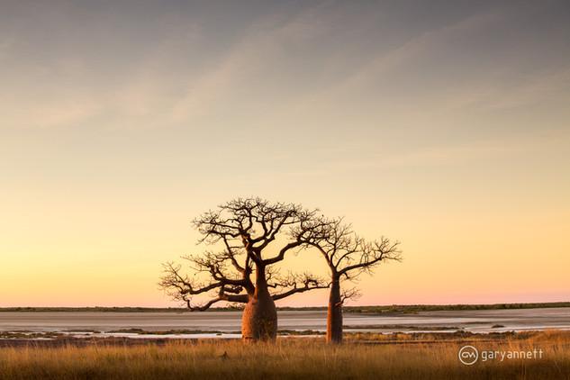 Boab-Trees-Sunrise-Derby.jpg