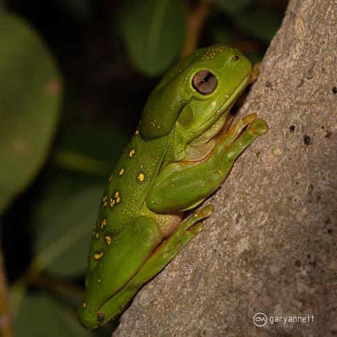 Splendid-Tree-Frog-Kimberley-01.jpg