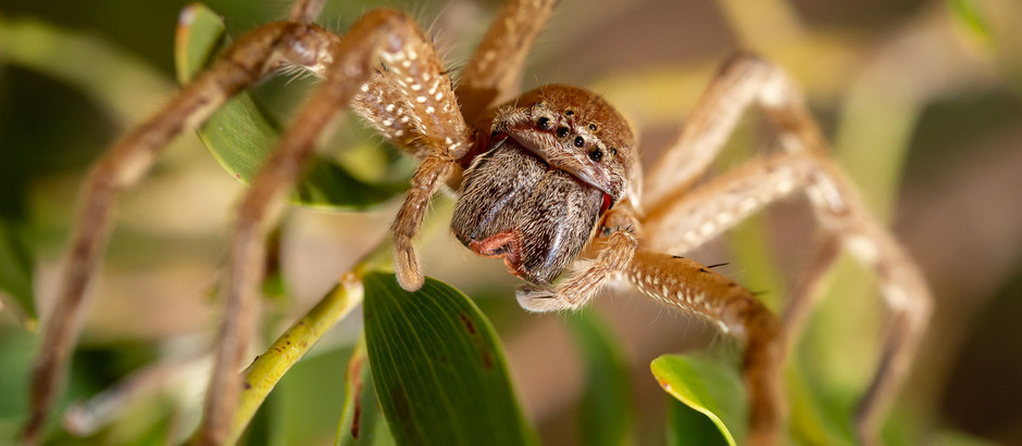 Huntsman Spider...