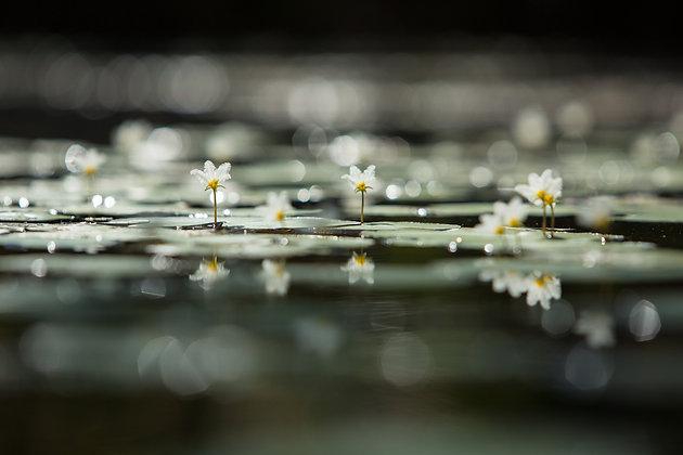 Snowflake Water Lilies - GA0035