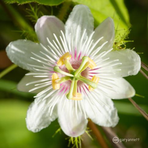Passiflora-foetida-Kimberley-02.jpg