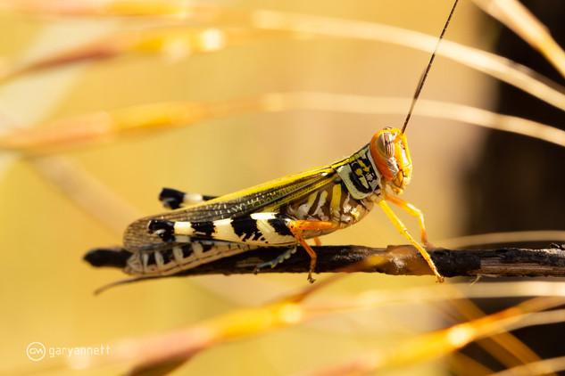 Grasshopper-Kimberley-03.jpg