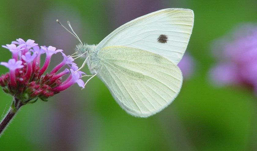 witte vlinder.jpg