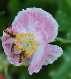 pink poppy and friends