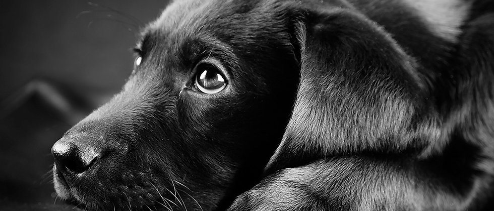 Black Lab Puppy Canvas