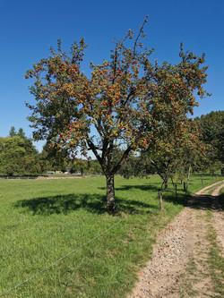 Odenwald Apfelbaum Beedenkirchen