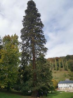 Mammutbaum Fürstenlager - Holzmichel Tou