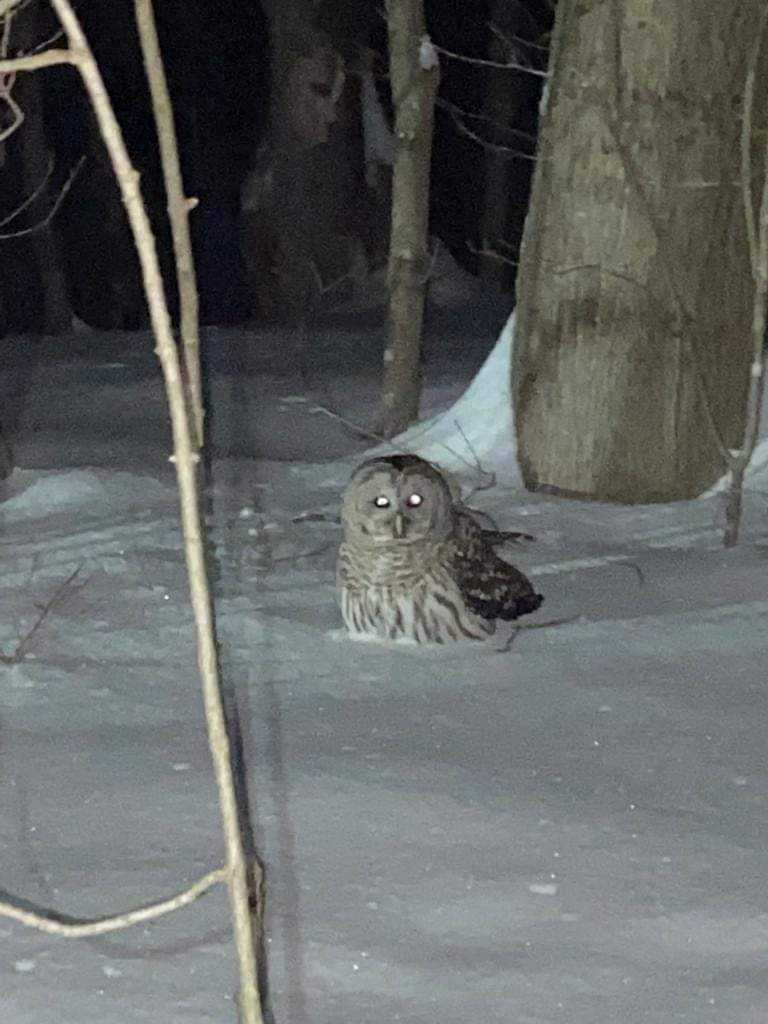 You can't see it in this photo, but this barred owl is sitting on a toque, which it snatched from a skier's head in Gatineau Park near Kingsmere on Feb. 27. Photo courtesy Jacki Coolican