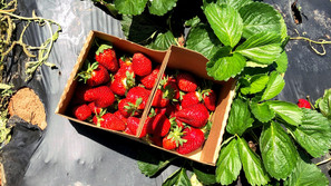 Pick your own strawberries at these 11 farms near Fort Mill