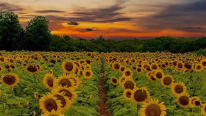 Sunflowers in full bloom at Draper Wildlife Management Area in McConnells, SC