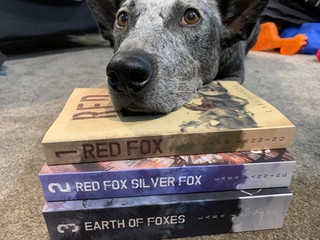 Baloo, a Red Fox reader's blue-cattle dog, with the Red Fox series.