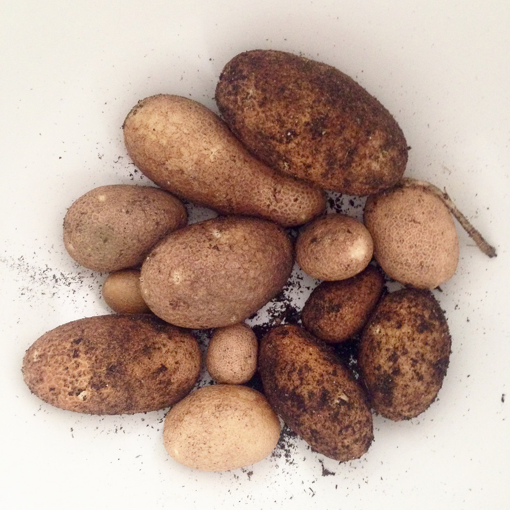 Home-Grown Container Garden Potatoes