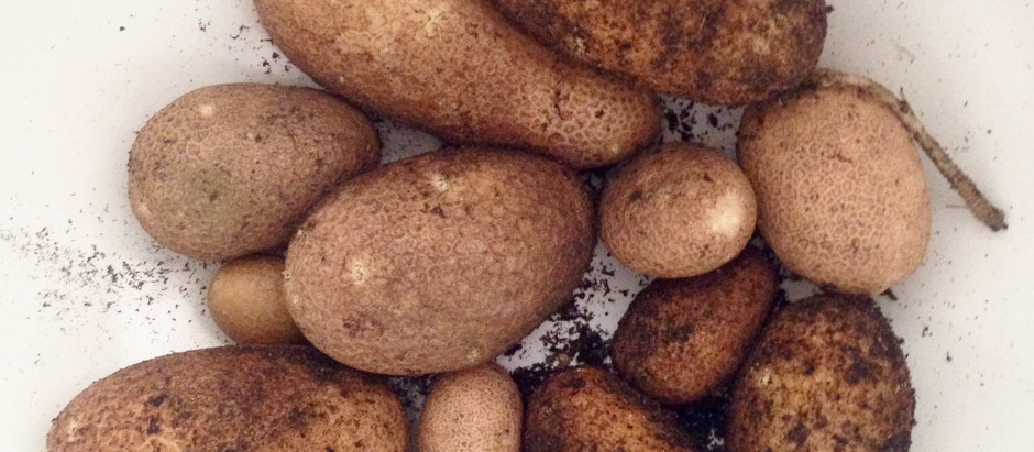 Things I Learned From My First Try At Growing Potatoes
