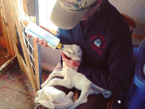 Farm Life & Lots Of Baby Goats