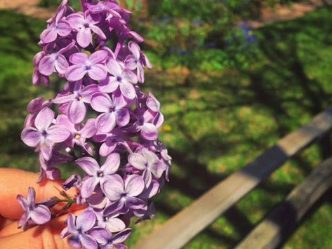 For The Love Of Lilacs