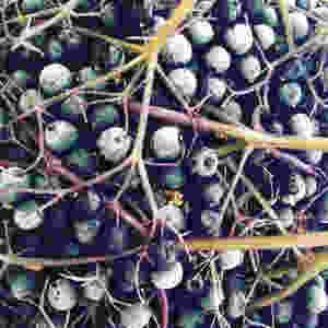 Frozen Elderberries : How To Make an Elderberry Immune-Boosting Tonic