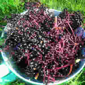 Fresh Elderberries : How To Make an Elderberry Immune-Boosting Tonic
