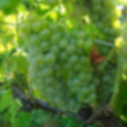 double-a-vineyards-seyval1-grapevines_1.