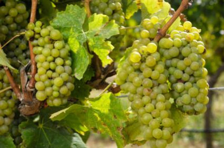 139828-425x281-Chardonnay-Grapes.jpg