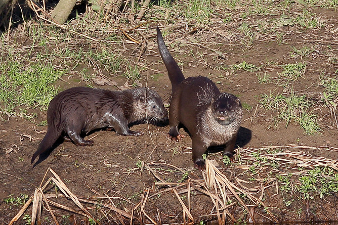 Otters on the River Nith