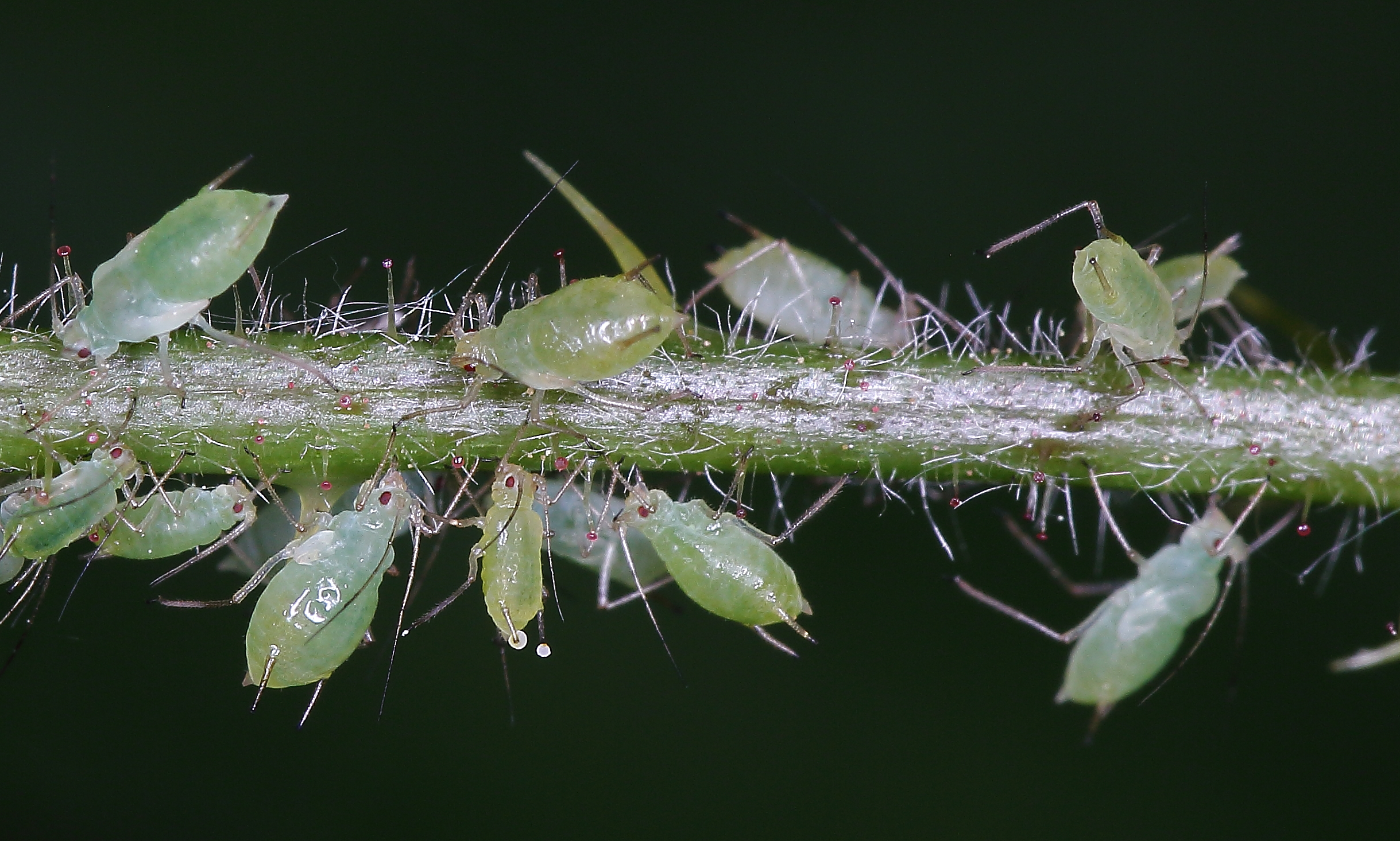Aphid Family