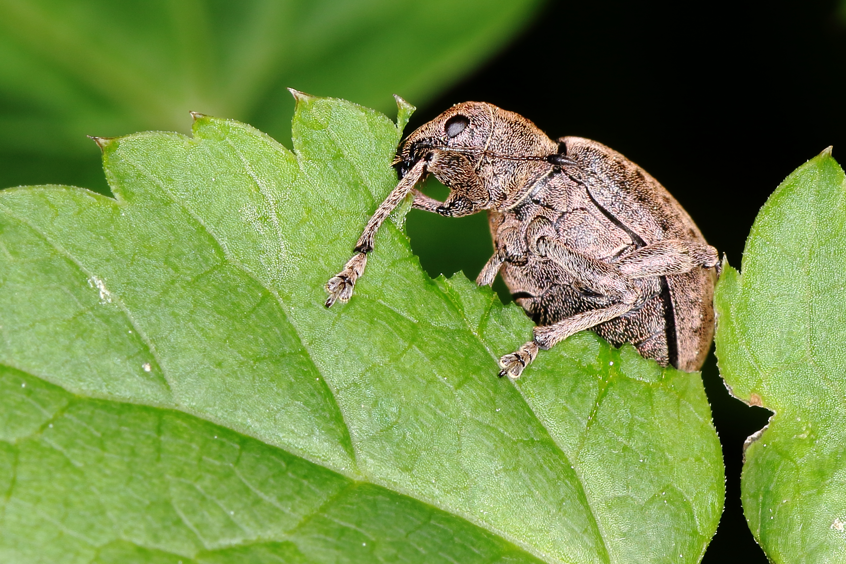Feeding Vine Weevil