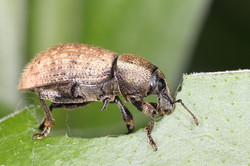 Vine Weevil Feeding