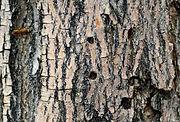 Lilac ash borer