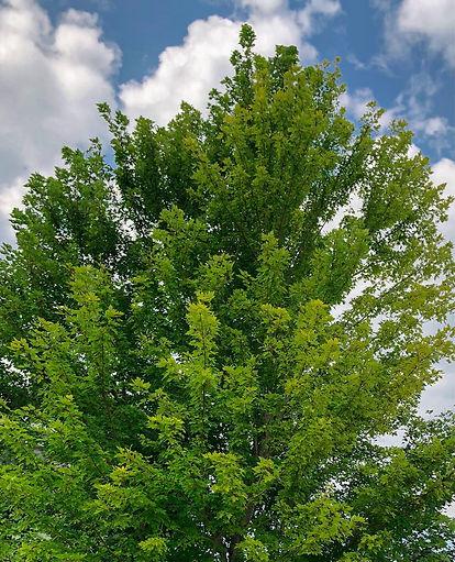 healthy tree.jpg