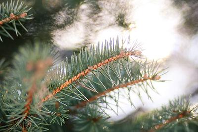 pine tree close up.jpg