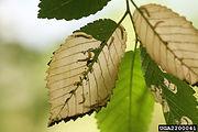 Elm leafminer
