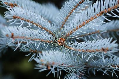 bigstock-Blue-Spruce-Twigs-Close-Up-5246