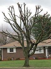 tooped tree.jpg