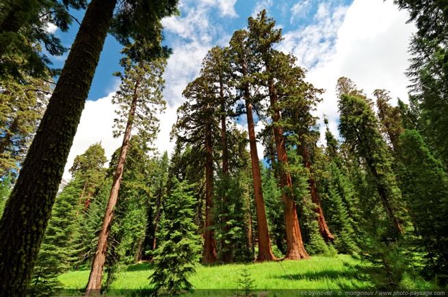 Séquoias California - JIA - Bois Yang