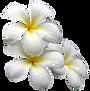 Frangipanier - fleurs.png