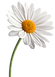 Daisy - Marguerite.png
