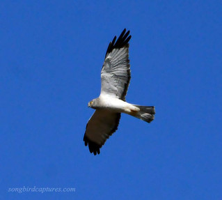 Gray Ghost/Northern Harrier male