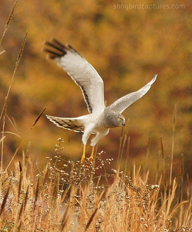 Gray Ghost/Male Northern Harrier