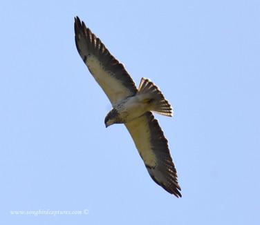 Swainson's Hawk (rare for AR)