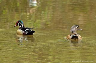 Wood Ducks drake and hen
