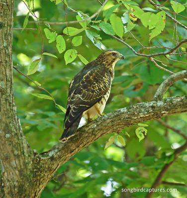 Broad Winged Hawk juvenile