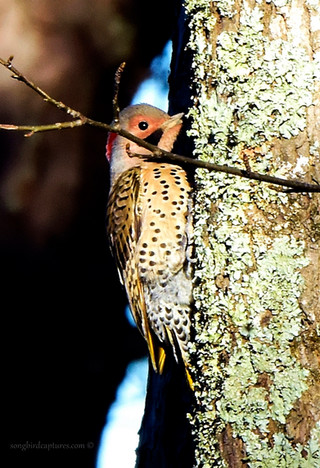 Northern Flicker Yellow Shafted Male