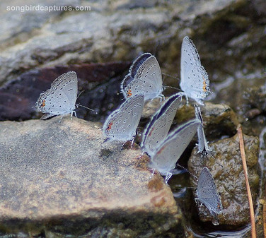 Eastern tailed Blue Butterflies
