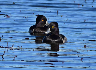 Ring necked Duck drakes