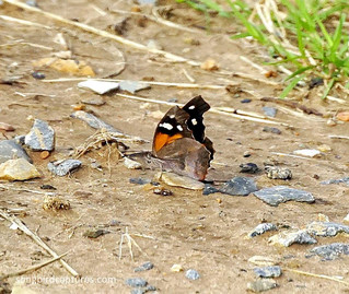 Snout-nosed Butterfly