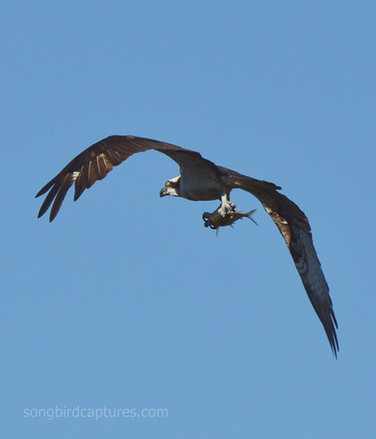 Osprey with a Catfish