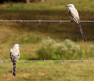 Scissortailed Flycatchers