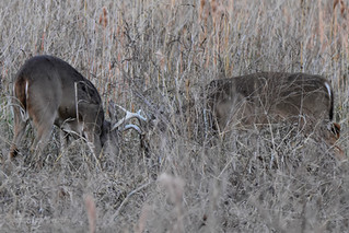 White tailed Deer Bucks sparring